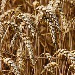 Korzyści ze stosowania środków ochrony roślin dla środowiska i plonów